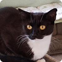 Adopt A Pet :: Moomoo - Incline Village, NV