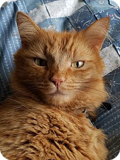 Maine Coon Cat for adoption in Eagle Point, Oregon - Rocky