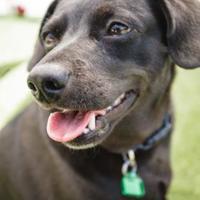 Beagle/Chihuahua Mix Dog for adoption in Frazier Park, California - Brooklynn