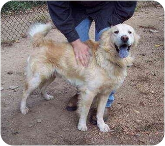 Chow Chow/Retriever (Unknown Type) Mix Dog for adoption in Bloomsburg, Pennsylvania - Cobbler