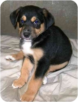 German Shepherd Dog/Labrador Retriever Mix Puppy for adoption in Howes Cave, New York - Beck - On Hold