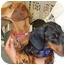 Photo 3 - Dachshund Dog for adoption in Jacobus, Pennsylvania - Peanut - MD