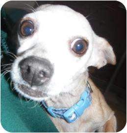 Chihuahua Mix Dog for adoption in Jackson, Michigan - Kelley