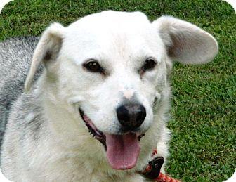 Husky/Beagle Mix Dog for adoption in Transfer, Pennsylvania - Hercules