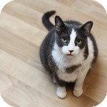 Domestic Shorthair Cat for adoption in Wheaton, Illinois - Cricket