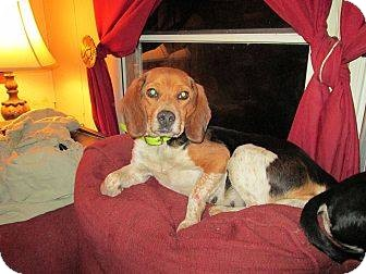 Beagle Dog for adoption in Parsippany, New Jersey - Glass