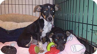 Miniature Pinscher/Beagle Mix Puppy for adoption in Fair Oaks Ranch, Texas - Tootsie & Twinkie