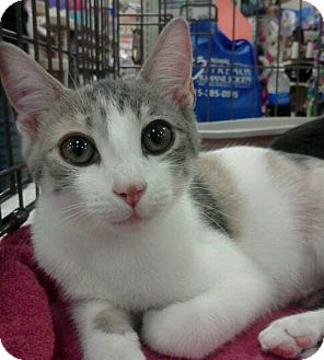 Calico Kitten for adoption in McHenry, Illinois - Zoey