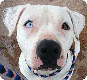 Boxer/Pointer Mix Dog for adoption in Austin, Texas - Luna