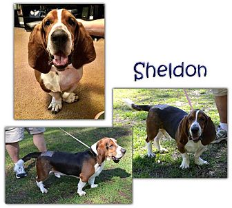 Basset Hound Mix Dog for adoption in Marietta, Georgia - Sheldon