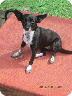 Chihuahua Dog for adoption in Brookside, New Jersey - Pippa