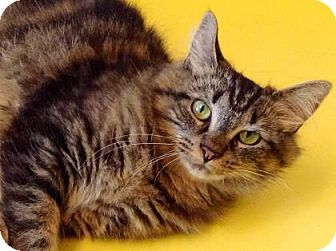 Domestic Mediumhair Cat for adoption in Brimfield, Massachusetts - Tiger Lily