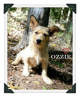 Terrier (Unknown Type, Small) Mix Dog for adoption in Chester, Connecticut - Ozzie