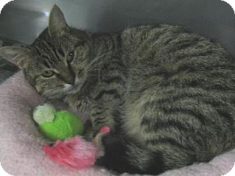 Domestic Shorthair Cat for adoption in Voorhees, New Jersey - Muffin