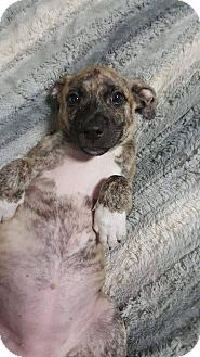 American Pit Bull Terrier/Boxer Mix Puppy for adoption in Plainfield, Illinois - Mary Ann