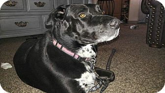 Labrador Retriever Mix Dog for adoption in Ogden, Utah - Meka