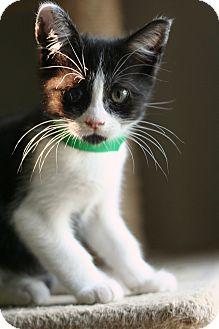 Domestic Shorthair Kitten for adoption in McCormick, South Carolina - Jack