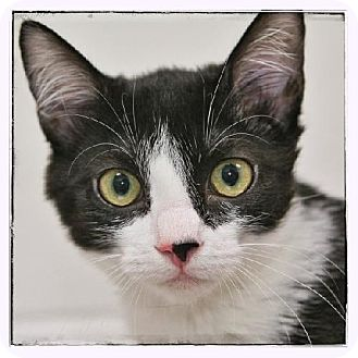 Domestic Shorthair Kitten for adoption in Salem, Massachusetts - Eloise