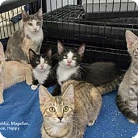 Adopt A Pet :: Feisty - Merrifield, VA