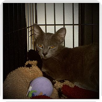 Russian Blue Cat for adoption in Medford, Wisconsin - ALTHEA