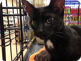 Domestic Shorthair Cat for adoption in Toledo, Ohio - Callie