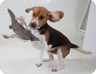 Beagle Mix Dog for adoption in Dallas, Texas - Olaf