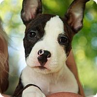 Adopt A Pet :: Radar - Reisterstown, MD