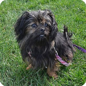Yorkie, Yorkshire Terrier Mix Dog for adoption in Wheaton, Illinois - Daisy