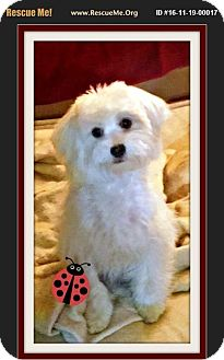 Maltese Puppy for adoption in Rancho Cucamonga, California - Georgie