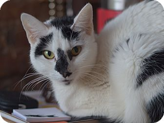 American Shorthair Cat for adoption in Brooklyn, New York - Snow