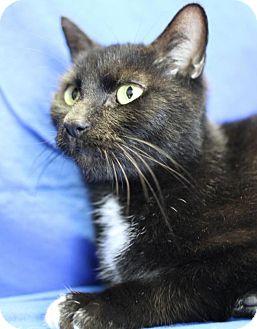 Domestic Mediumhair Cat for adoption in Winston-Salem, North Carolina - Bonsai