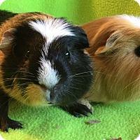 Adopt A Pet :: Edsel - Highland, IN