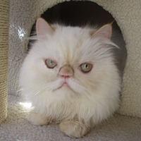 Adopt A Pet :: Snooks - Gilbert, AZ