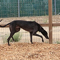 Adopt A Pet :: Desi - Santa Rosa, CA
