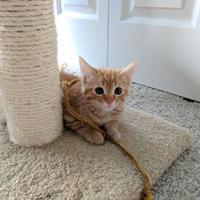 Adopt A Pet :: Stanley - Fort Collins, CO