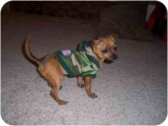 Chihuahua Mix Dog for adoption in Lakewood, Colorado - Miley
