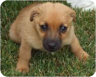 Dachshund/Beagle Mix Puppy for adoption in Newburgh, Indiana - Chance