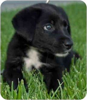 Border Collie/Labrador Retriever Mix Puppy for adoption in San Angelo, Texas - Troubles