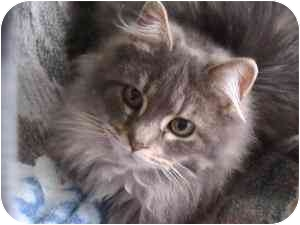 Domestic Mediumhair Cat for adoption in Columbiaville, Michigan - Curly