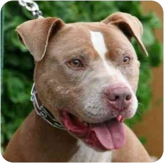 American Pit Bull Terrier Mix Dog for adoption in Berkeley, California - Nino