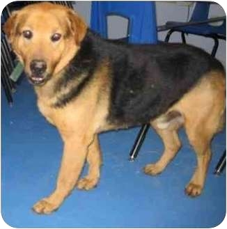 German Shepherd Dog Mix Dog for adoption in Lubbock, Texas - Buddy Too