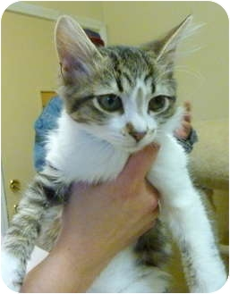 Domestic Shorthair Kitten for adoption in Grants Pass, Oregon - Rocky