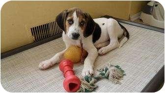 Treeing Walker Coonhound/Hound (Unknown Type) Mix Puppy for adoption in Fulton, Maryland - Billy