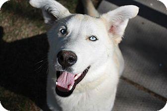 Husky Mix Dog for adoption in Winnipeg, Manitoba - Shevy