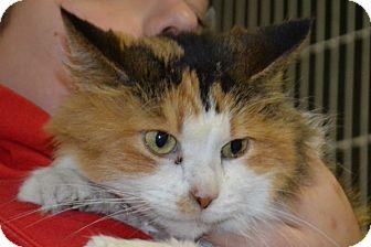 Domestic Shorthair Cat for adoption in Elyria, Ohio - Annabelle