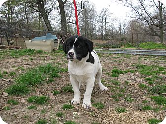 St. Bernard/Australian Cattle Dog Mix Puppy for adoption in Hartford, Connecticut - Latch