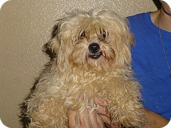 Poodle (Miniature)/Maltese Mix Dog for adoption in Oviedo, Florida - Tiki