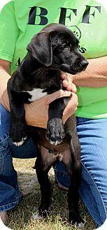 Great Dane/Labrador Retriever Mix Puppy for adoption in Silsbee, Texas - Ajax