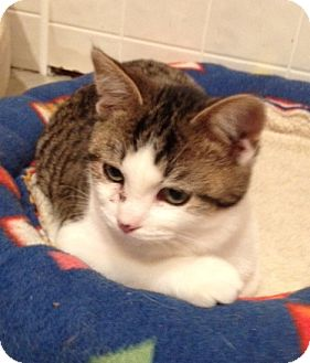 Domestic Shorthair Kitten for adoption in Byron Center, Michigan - Chrome