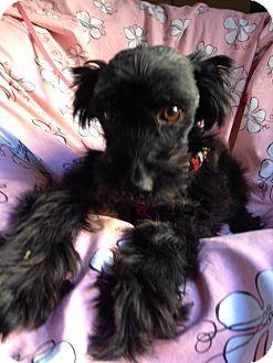 Schnauzer (Miniature) Mix Dog for adoption in Corona, California - MINNIE
